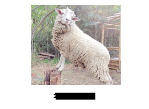 羊のアマエル