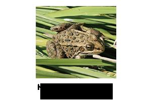 トウキョウダルマガエル(準絶滅危惧種)