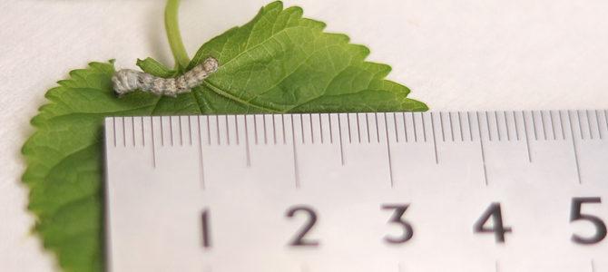 おうちで蚕を育てよう! 「お蚕フレンズプロジェクト2021」追加募集中
