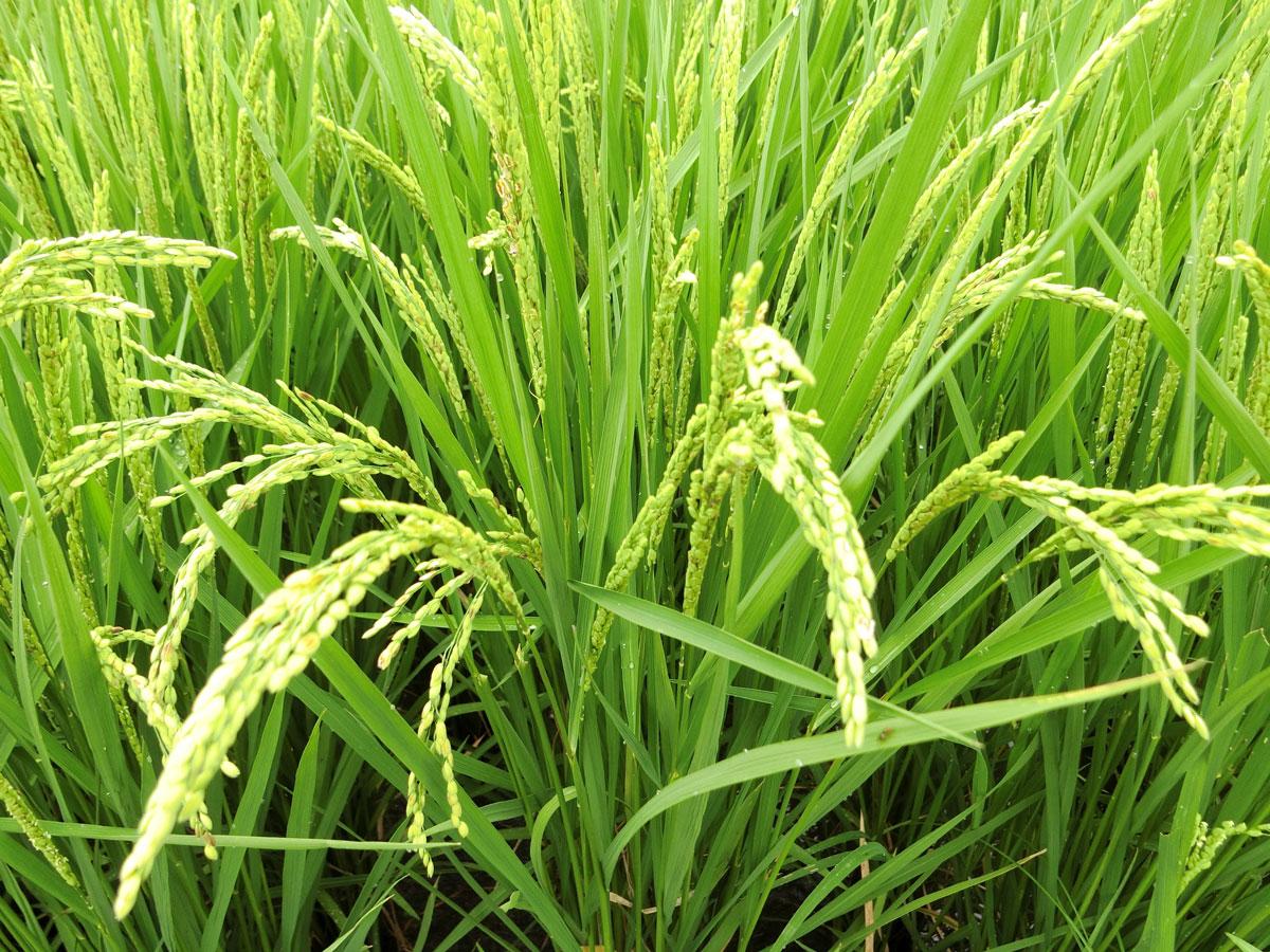 稲には小さな小さな花が咲くんですよ。